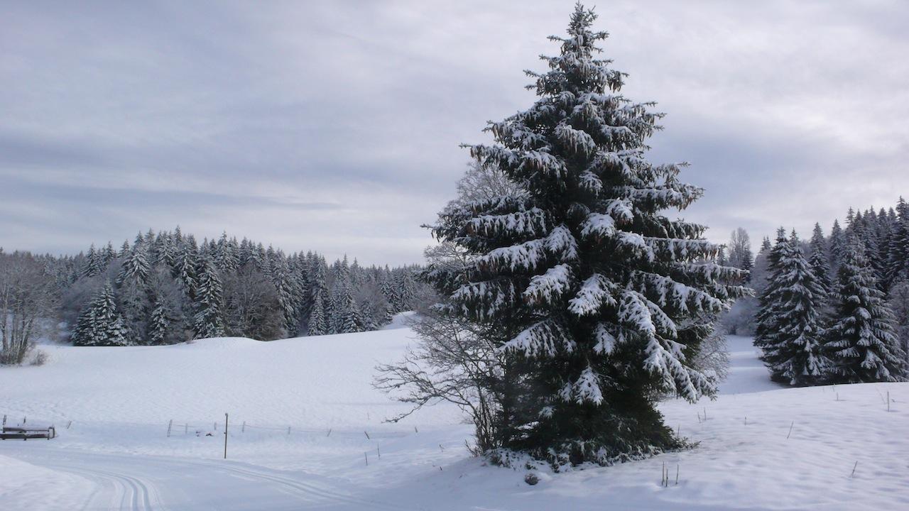 épicéa en hiver