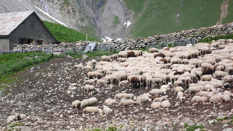 moutons_et_patou_dans_les_ecrins