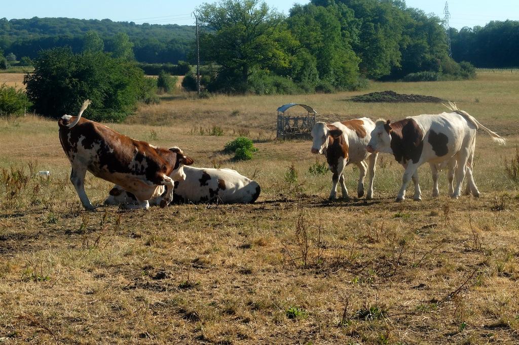 Sécheresse, élevage. Génisses à Mamirole, sur le premier plateau du Doubs.