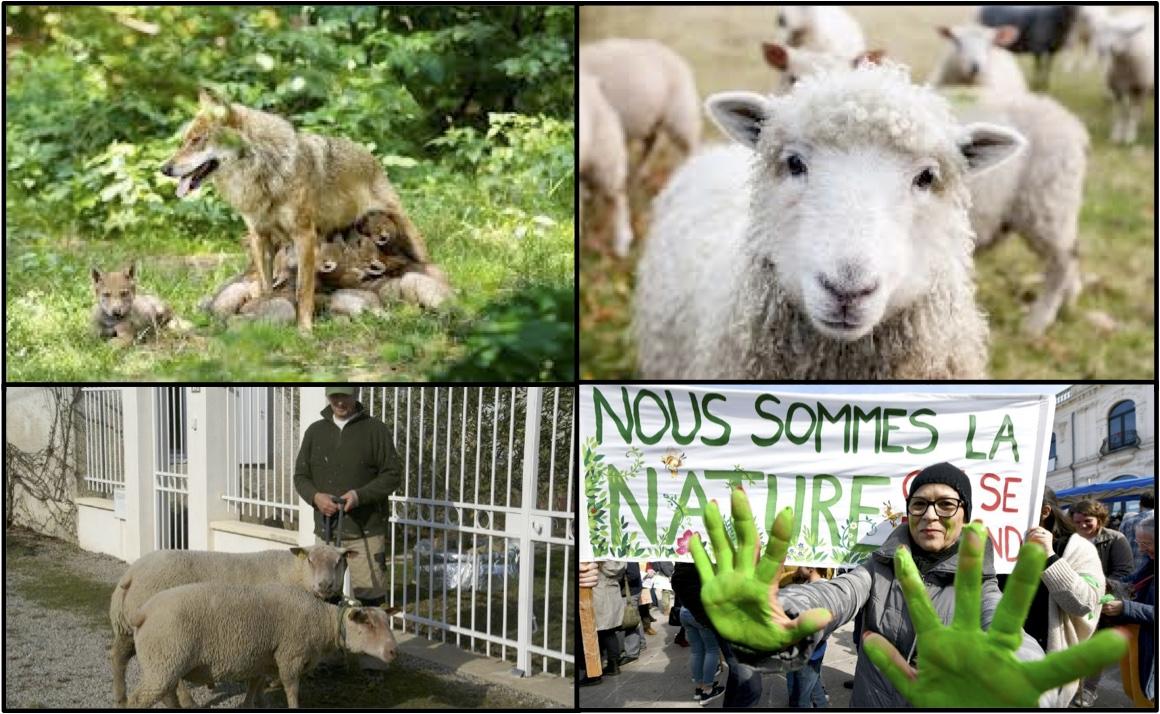 loup-mouton-agriculteur-ecolo
